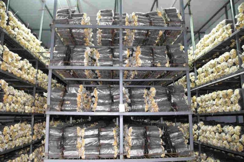 姜堰桑黄种植技术丰禾堂